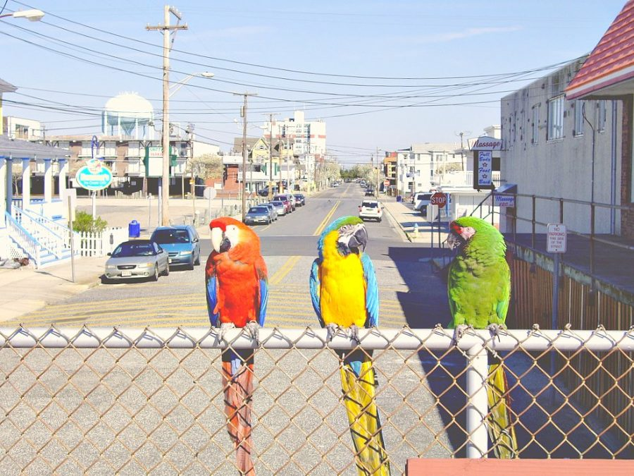 Three parrots sitting on a fence in a neighbourhood. It's a sunny day.